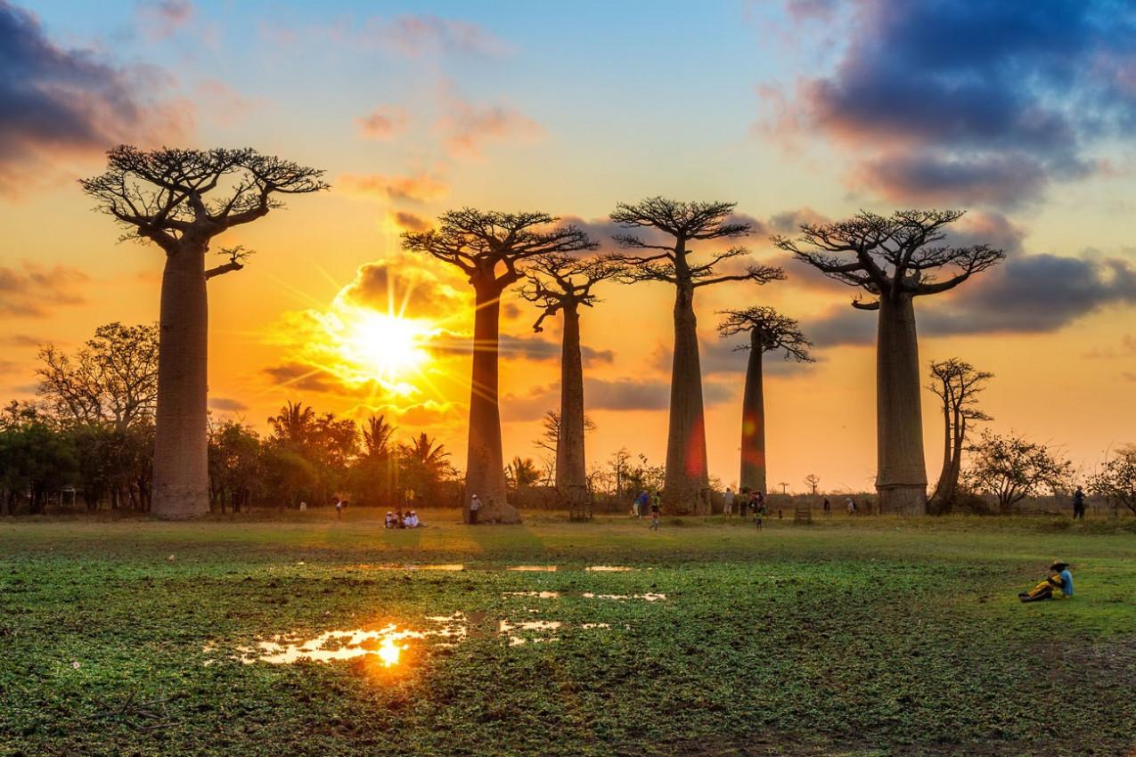 Árvore Baobab no Pôr do Sol