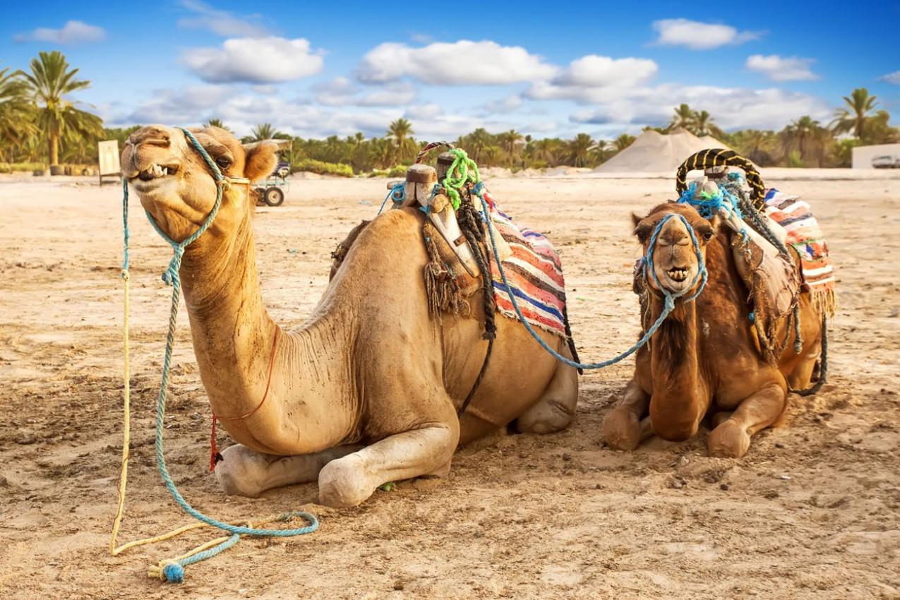 Camelo árabe ou Dromedary também chamado de camelo one-humped no deserto do Saara, Douz, Tunísia