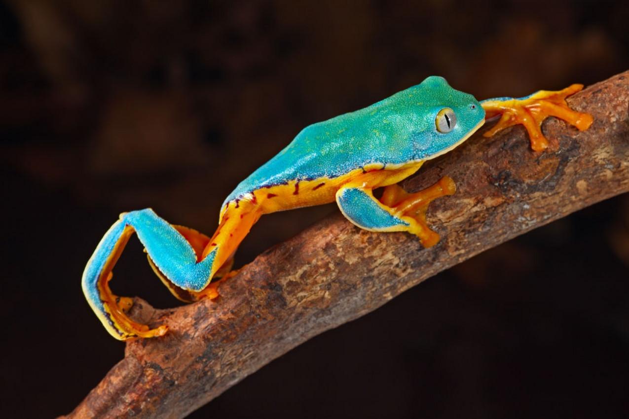 Phyllomedusa calcarifer vive na floresta tropical exótico da Nicarágua