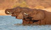 Elefantes Africanos Loxodonta Africana no Parque Nacional de Etosha