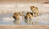 Filhos te Leão Namibia