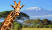 Girafa na frente da montanha Kilimanjaro Parque Nacional de Amboseli