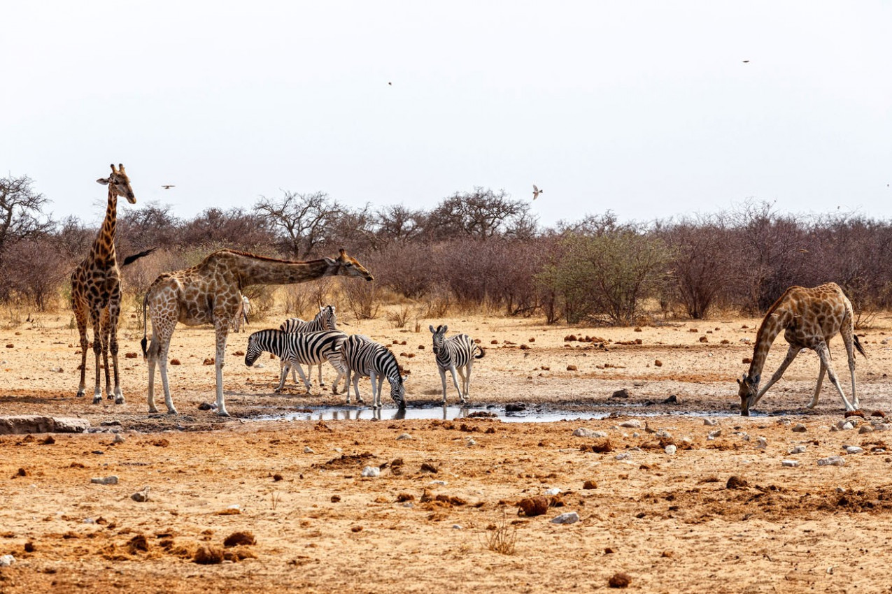 Girafas e Zebras no Etosha National Park