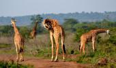 Girafas no Parque Nacional Akagera em Ruanda
