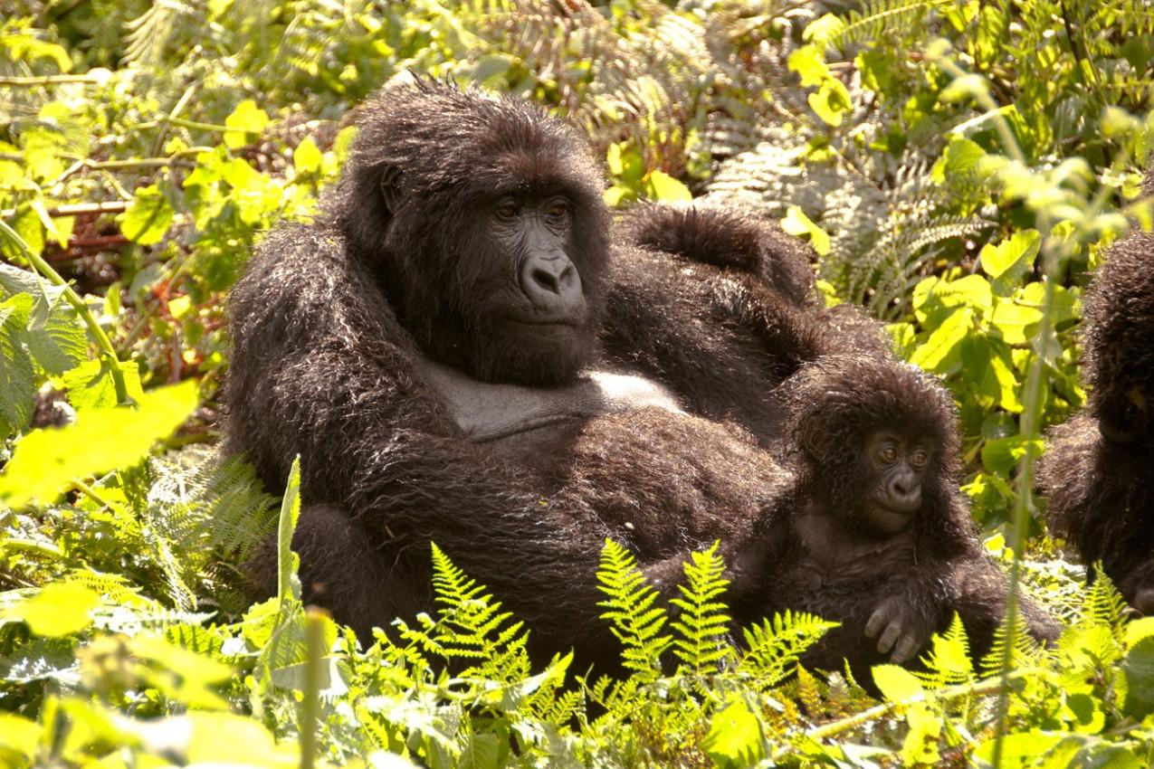 Highland Gorilla mãe e jovem que aprecia o sol, Ruanda