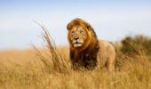 Leão Caesar na grama de ouro de Masai Mara