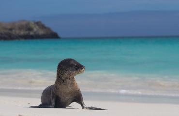 Leão Marinho filhote em Galapagos