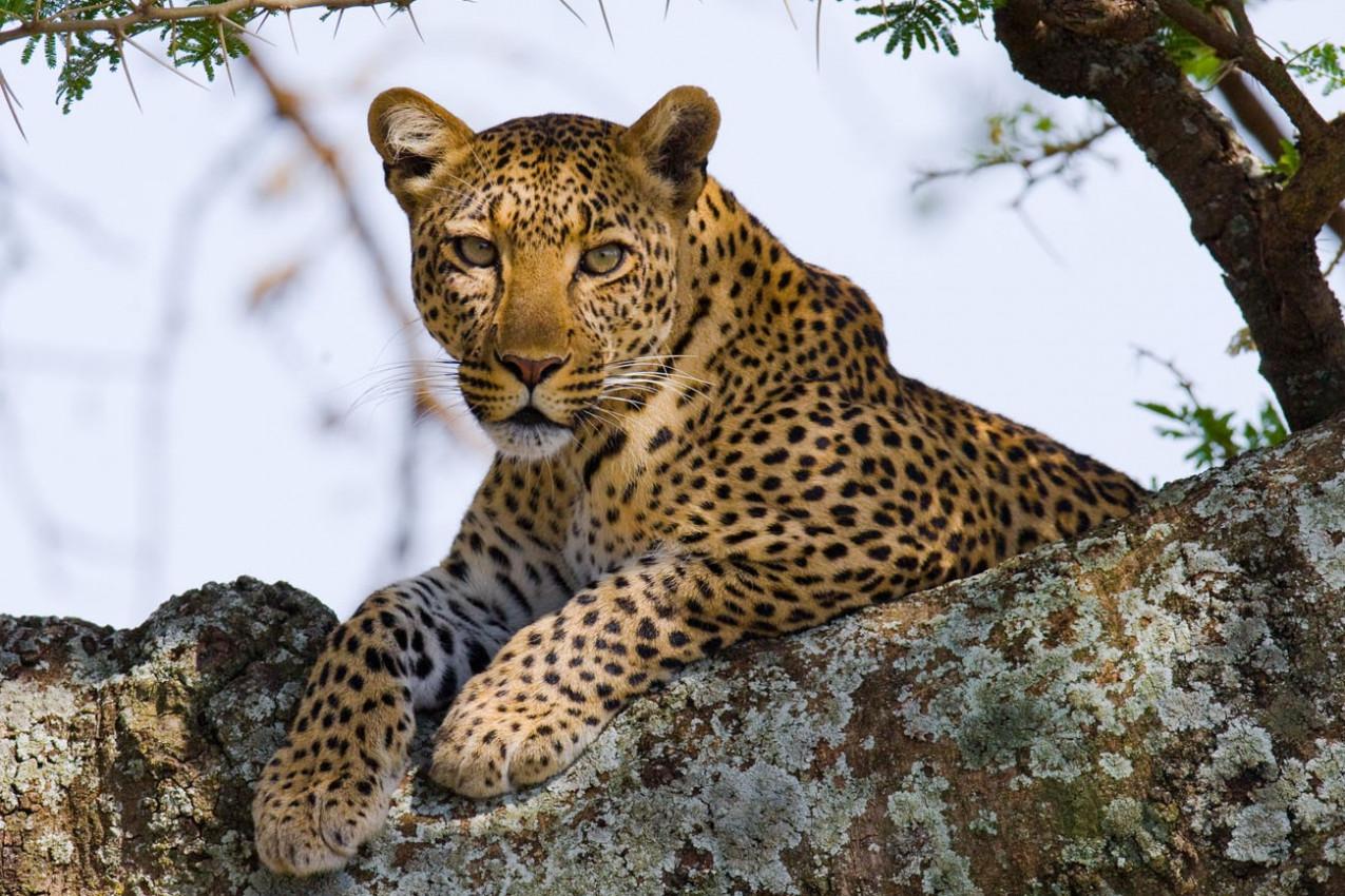 Leopardo na árvore. Tanzânia. Serengeti.