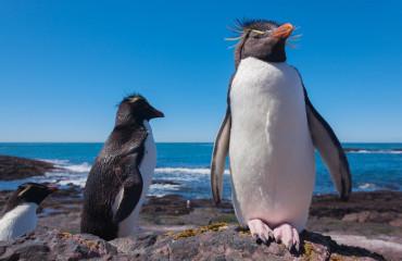 Pinguim de Rockhopper na Patagônia Chilena