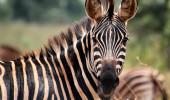 Zebra de Akagera Parque nacional em Ruanda