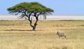 Zebra no Etosha Pan Namíbia