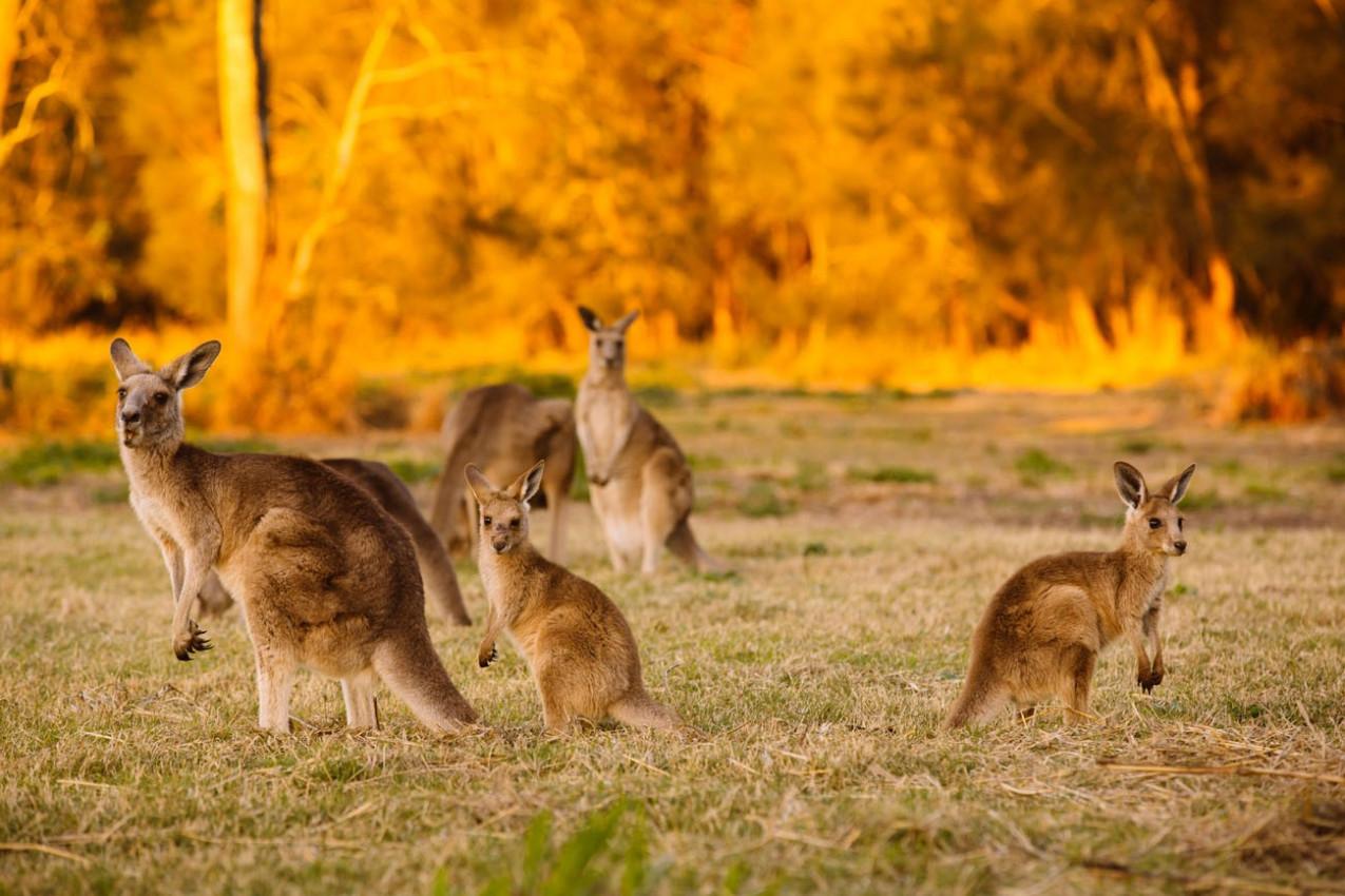 Bando de cangurus no crepúsculo (Coombabah Lake, Queensland, Austrália)