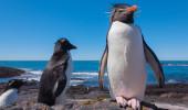 Pinguim de Rockhopper