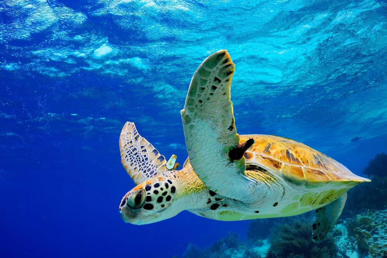 Tartaruga no Havai