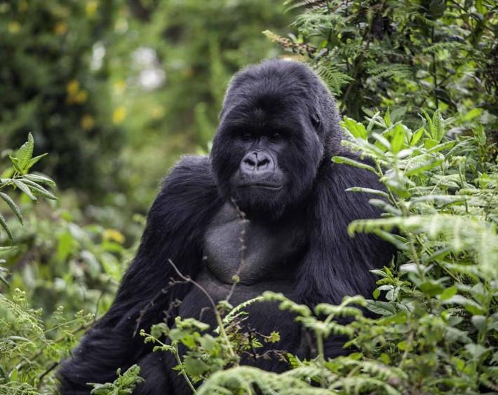 Gorilas em Ruanda Luxury